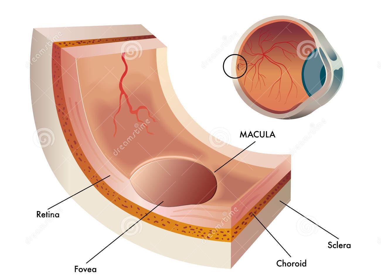 ωχρα-κηλιδα-ανατομια-central-part-retina-human-eye